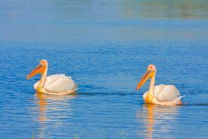 pelicani-sulina